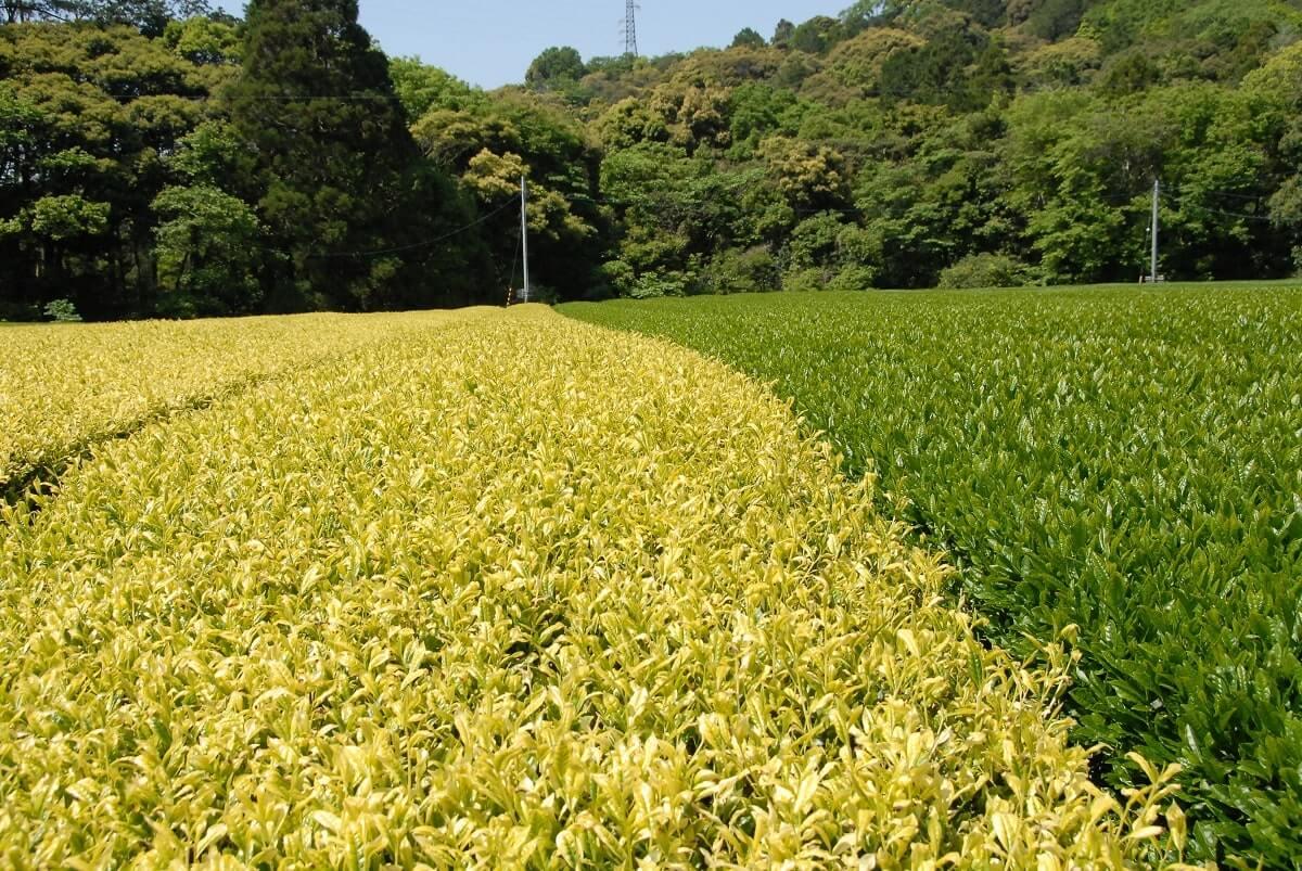 Fukuroi Tea
