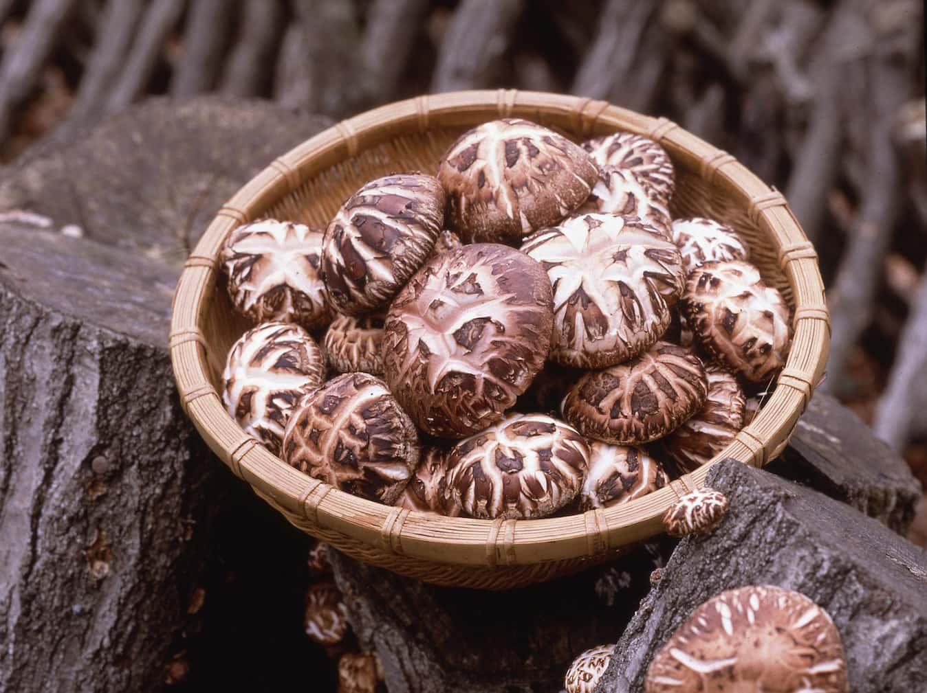 Shiitake Mushrooms ( Seisuke Donko, etc. )