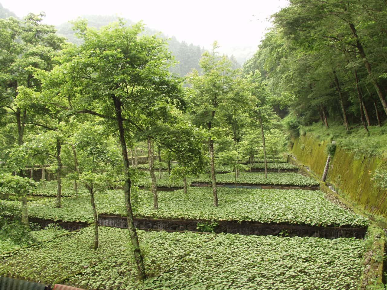 Ikadaba Wasabi Fields